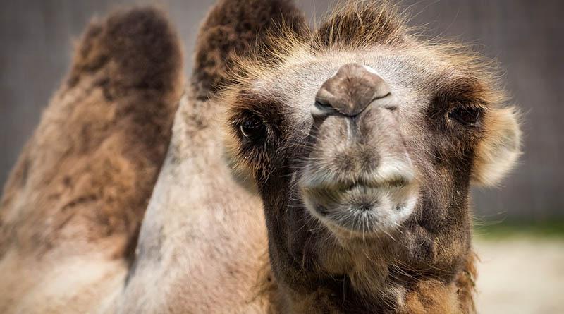 Kamelparkering