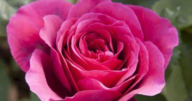 Roser er røde fioler er blå
