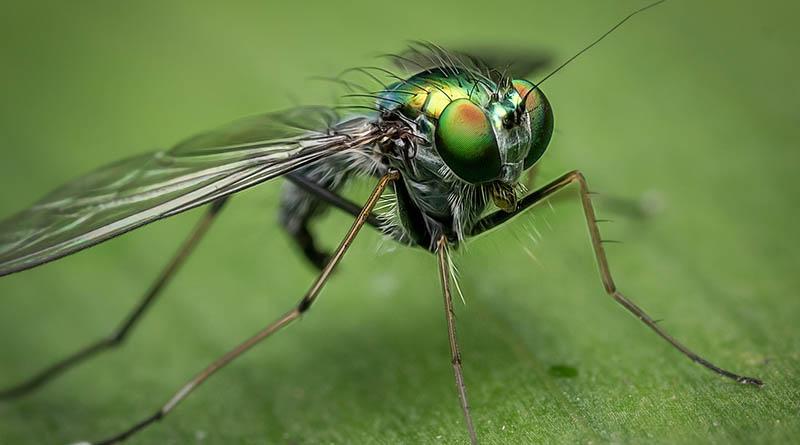Aggressiv flue